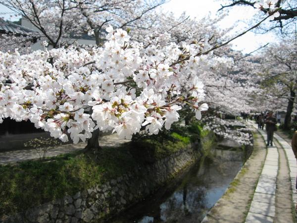 哲學之道上的櫻花.JPG