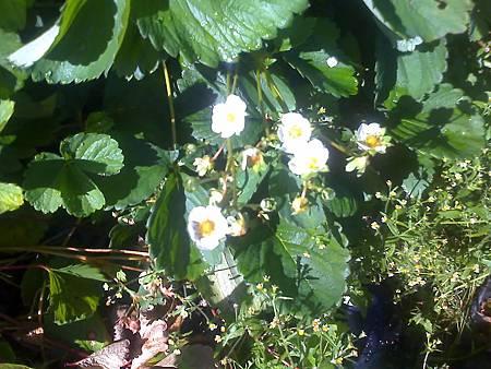 6月11日開花的草莓