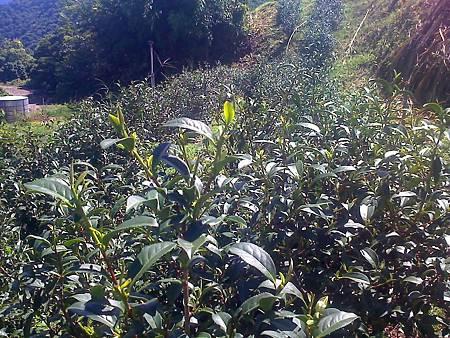 農場[6.13]茶發芽了