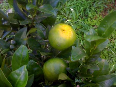 農場[6.13]茂谷柑有這麼大顆