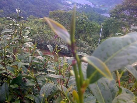 農場的茶樹上的蚜蟲