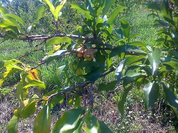 紅肉李樹的黃蜂