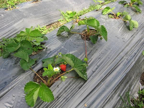 6月種的草莓開花了