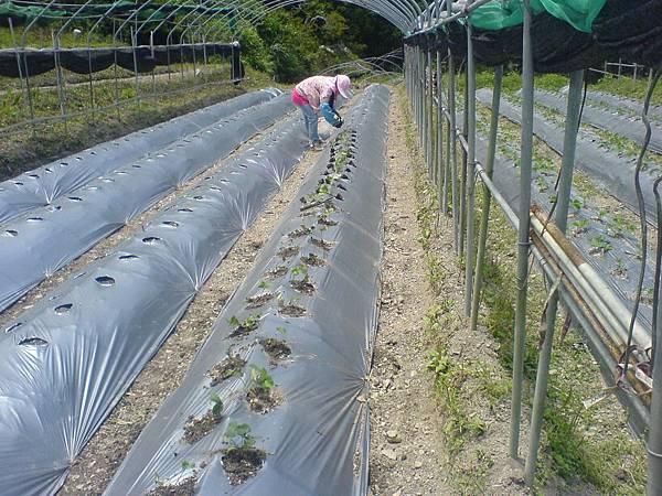 7月29日新種的草莓苗