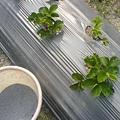 草莓下有機複合肥料