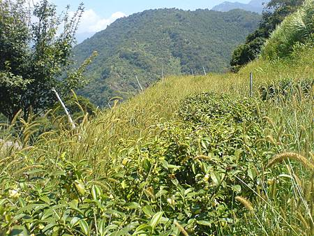 茶園的秋景