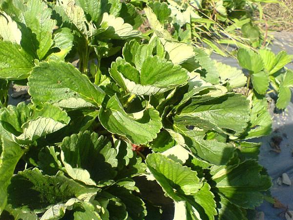 抗病力強的草莓植株