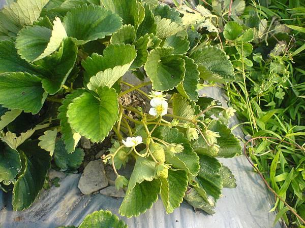 10月21日草莓陸續開花了