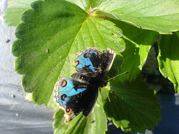 草莓上的蝴蝶