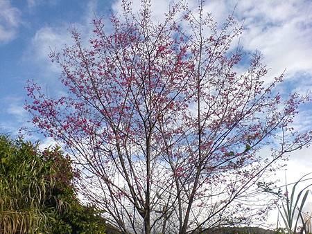 茶園櫻花開始開了