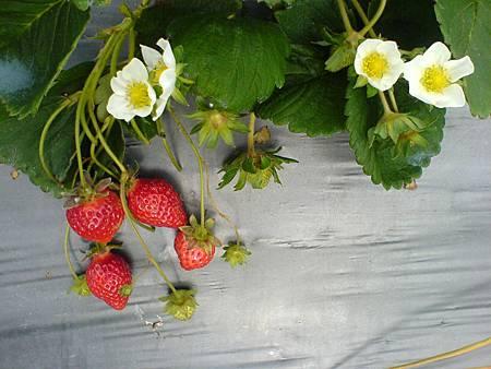 盛開的草莓花與紅通通的草莓