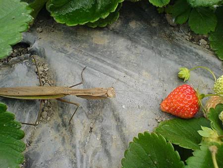 螳螂與草莓
