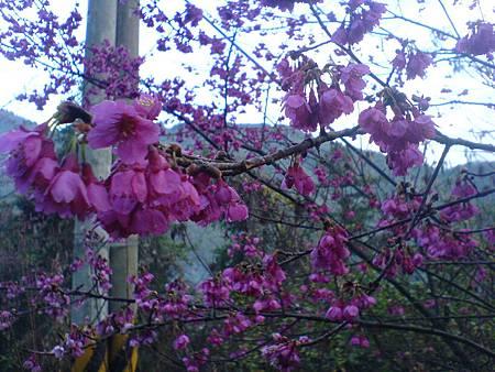 山櫻花盛開