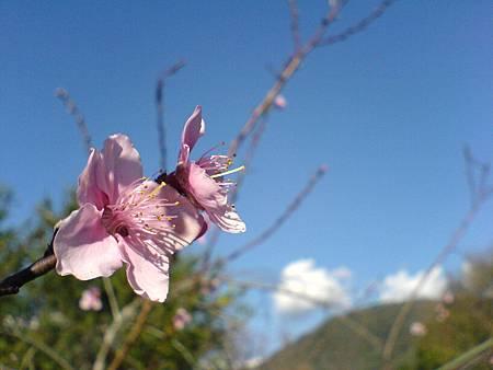 野百合溫泉會館的桃花開了