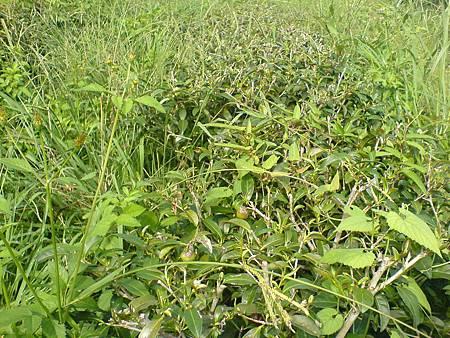 茶樹被雜草包圍了