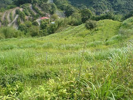 農場的茶樹管理是讓茶樹野化成野山茶