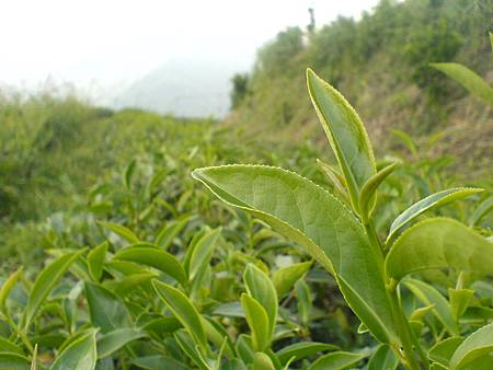 要採收的野茶樹