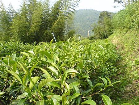 野茶樹在微笑