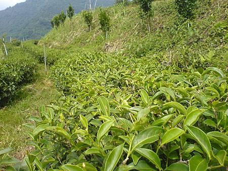 小修剪後的野茶樹