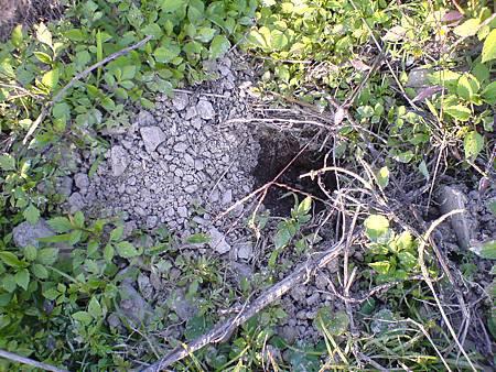 茶園到處有穿山甲挖的洞