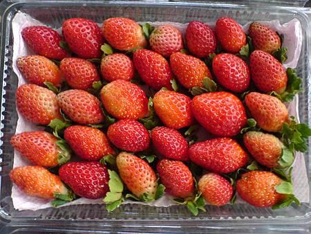 無農藥草莓雖然大小不一,卻吃得安心健康