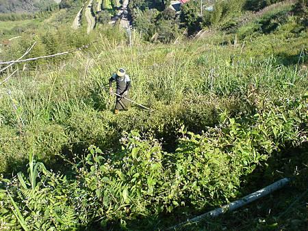 茶園開始砍草