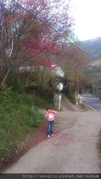 農場前的櫻花花瓣落滿地_水