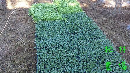 高麗菜苗和大白菜苗