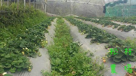 草莓園現狀