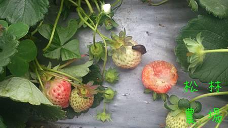 蛞蝓吃草莓吃到爽