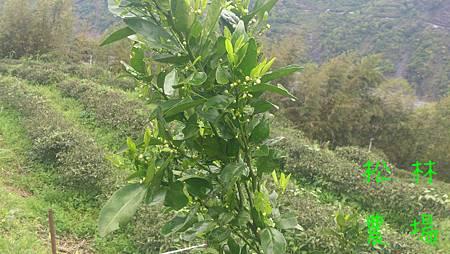 茂谷柑樹開花