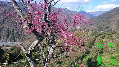 生命會找出路的的山櫻花
