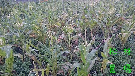 一些玉米植株生病