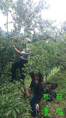 劉先生夫妻體驗採紅肉李,還爬上樹上