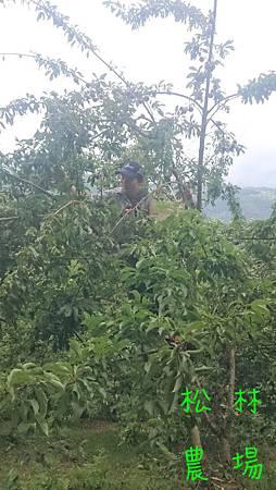 爬上樹採紅肉李