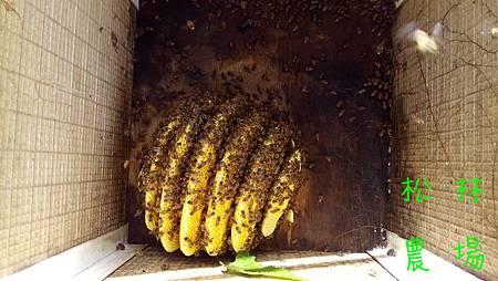 5月23日採野生蜂蜜