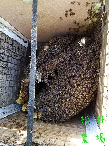 20170430茶園的野蜜採收