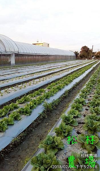 松林農場20180206田尾種植的蔬菜