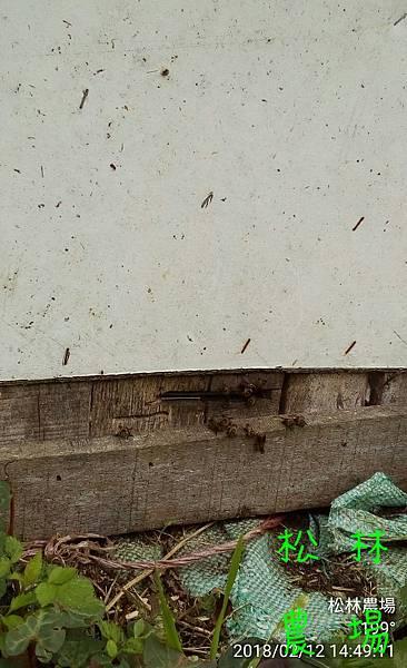 松林農場20180212野蜜蜂