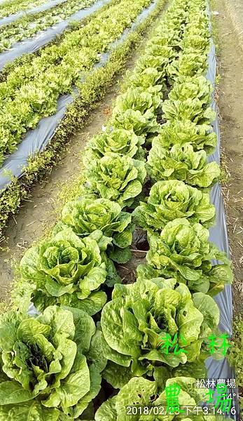 松林農場20180223田尾種的各種蔬菜快可以採收
