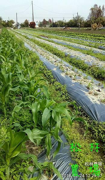 松林農場20180224_田尾種的各種蔬菜快可以採收