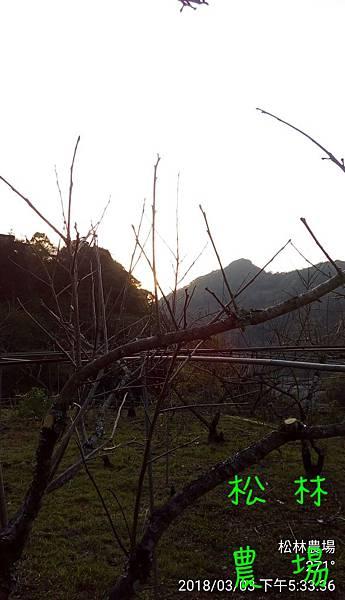 松林農場20180303甜柿園區剪枝