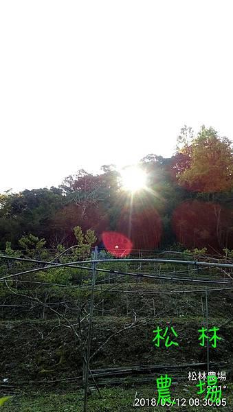 松林農場20180312甜柿持續剪枝