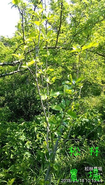 松林農場20180318_種7年的蘋果樹