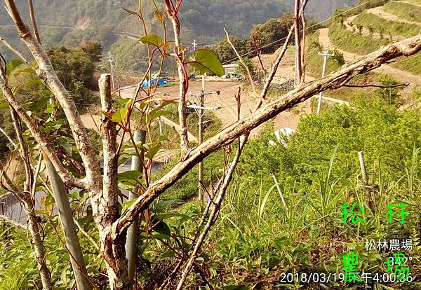 松林農場20180319努力生存的蘋果樹