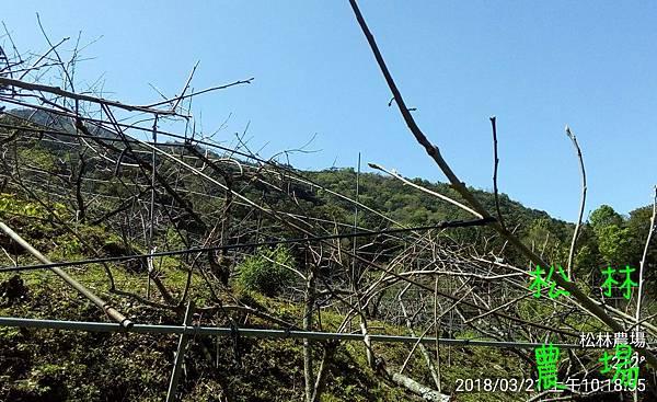 松林農場20180321甜柿開始發芽