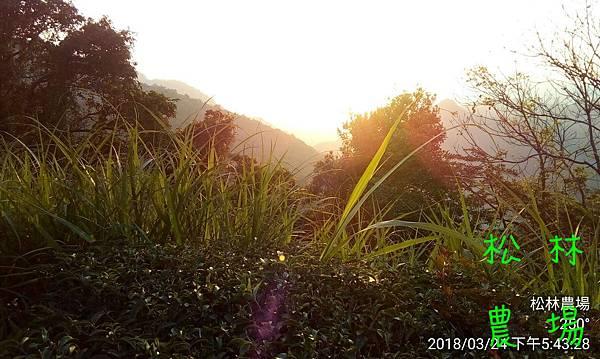 松林農場20180324茶園夕陽