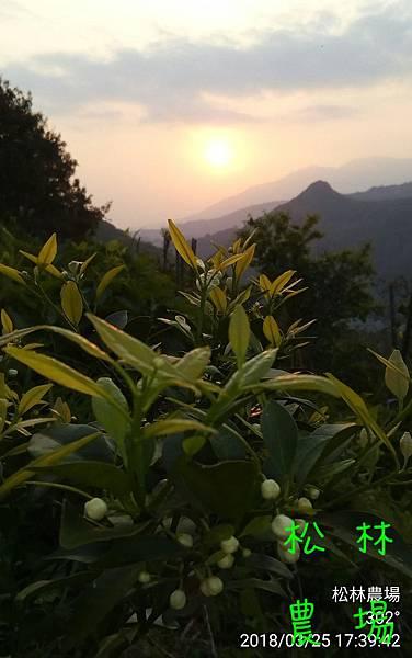 松林農場20180325果樹區夕陽