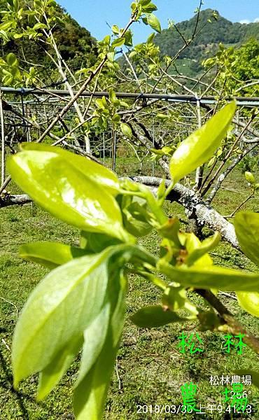 松林農場20180330甜柿發芽,準備開花