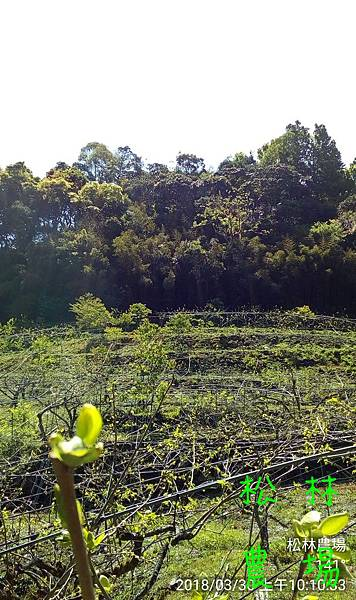 松林農場20180330甜柿區風景